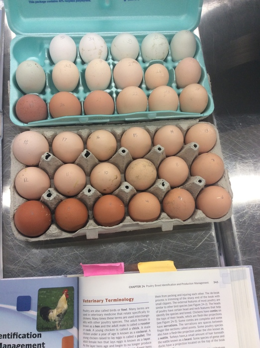 fertilized chicken eggs